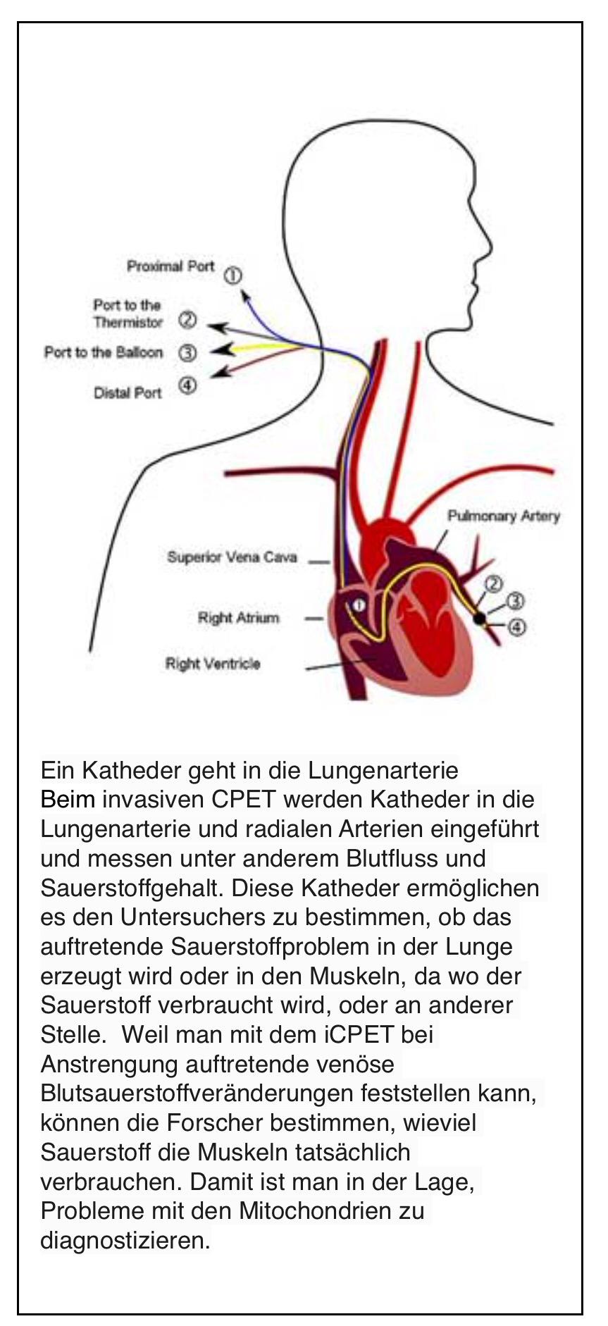 Fein Herz Animation Blutfluss Zeitgenössisch - Menschliche Anatomie ...